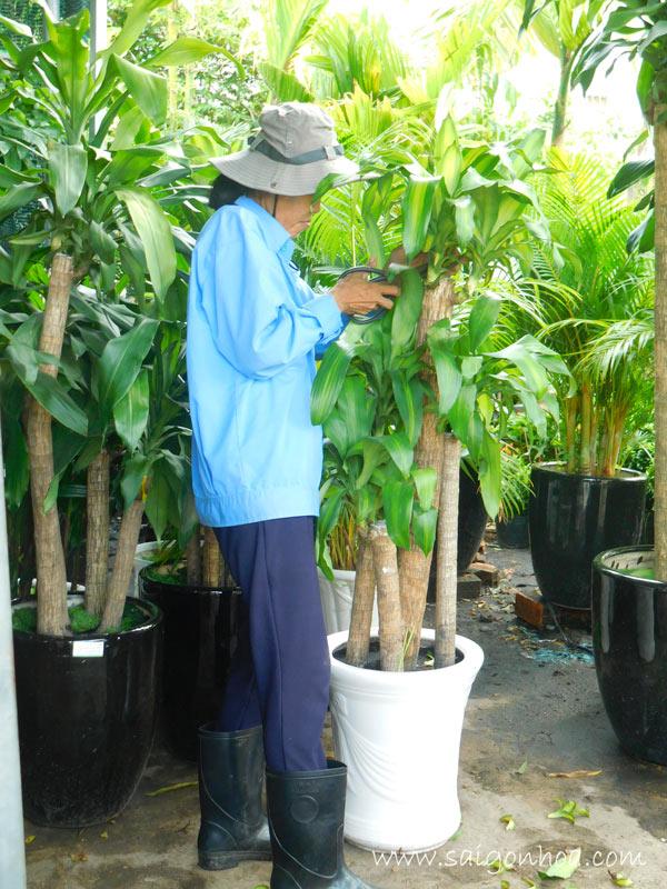 tất tần tật về cây phát tài-cây thiết mộc lan