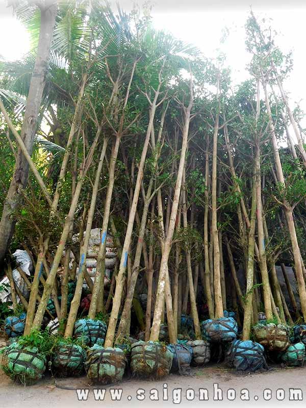 Cay Bang Dai Loan 2