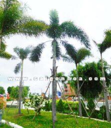 Cay Cau Duoi Chon Dep 1