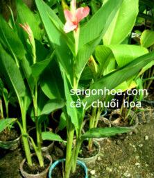 Cay Chuoi Hoa1