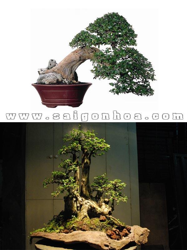 cay duoi bonsai co thu