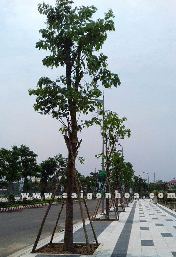 Cay Giang Huong 1