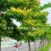 Cay Giang Huong Trong Cong Trinh