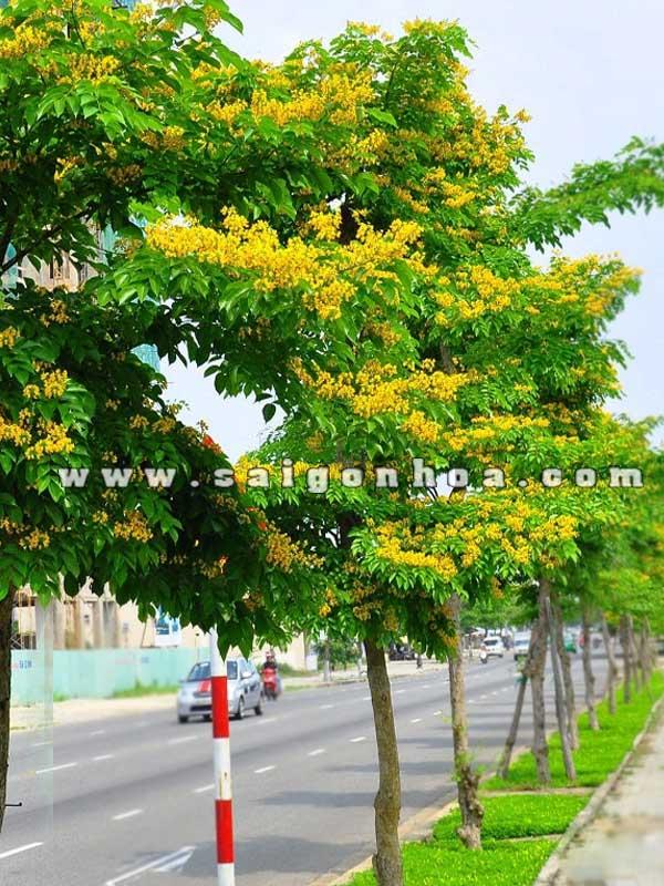 Cây bóng mát trồng đường phố tạo cảnh quan đô thị