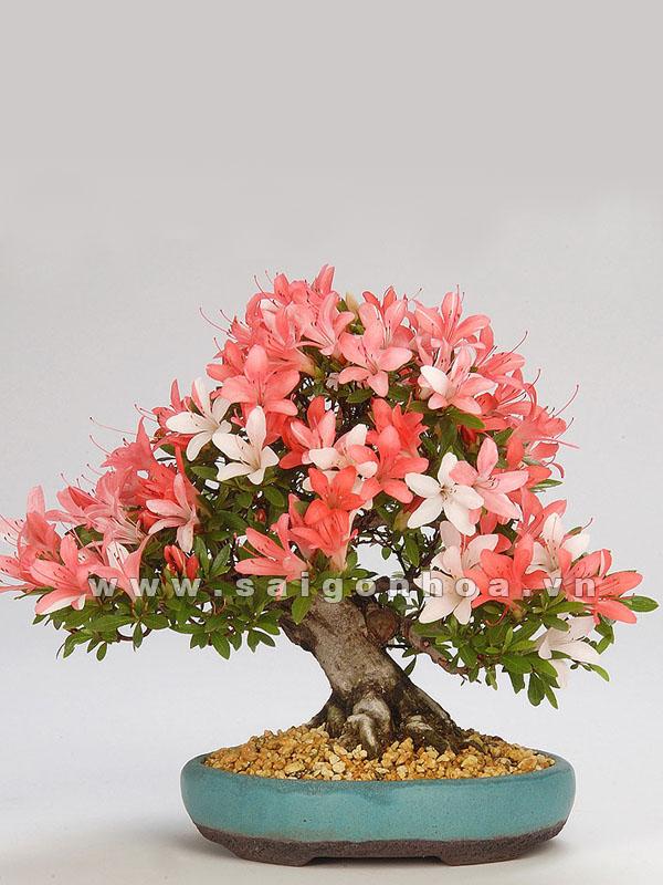 cay hoa do quyen bonsai