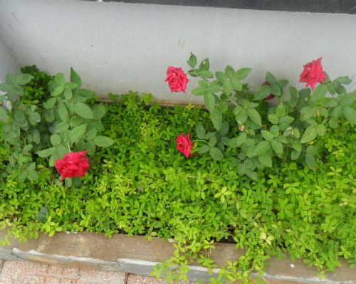 cay hoa hong cay co hoa