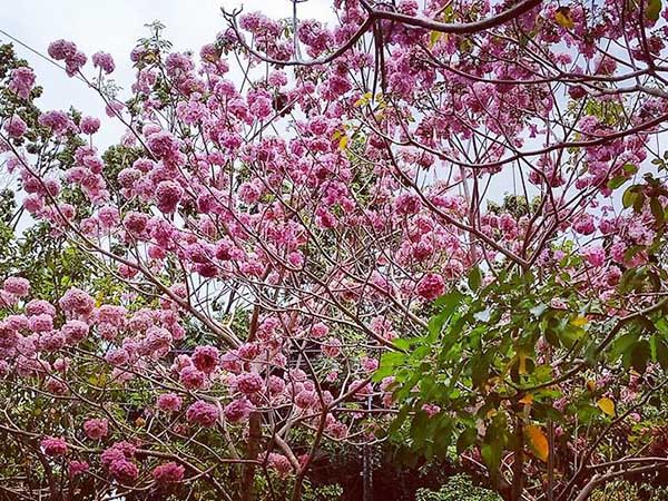cây kèn hồng