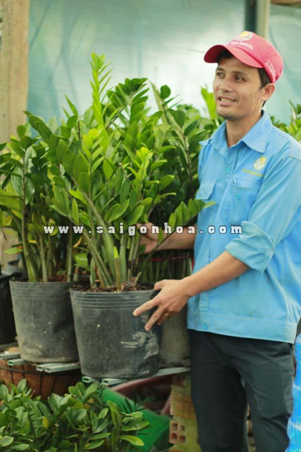 Cay Kim Phat Tai 2
