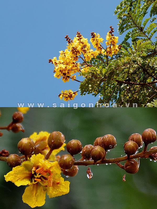 cây lim xẹt trồng vỉa hè