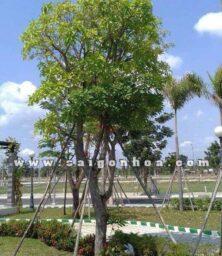 Cay Loc Vung 1