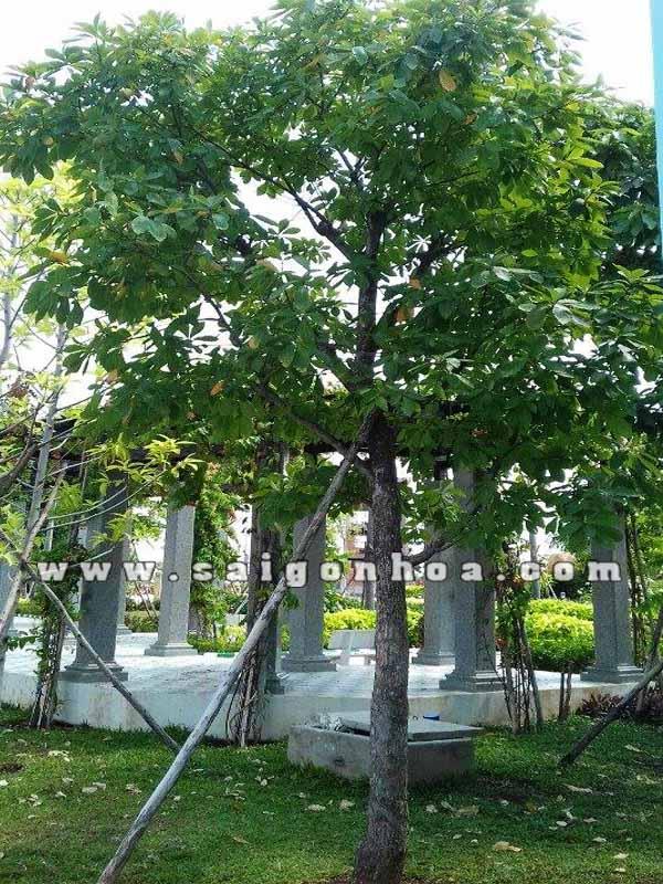 Top 7 loại cây bóng mát