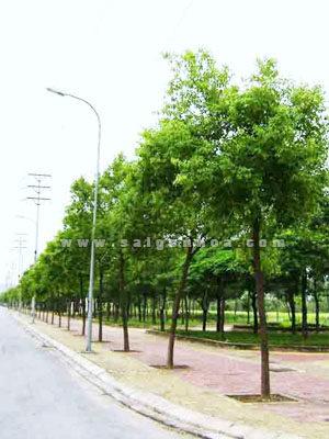 Cay Long Nao Duong Pho