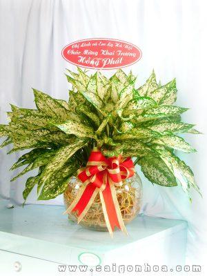 Cay Ngoc Ngan Qua Tang Khai Truong