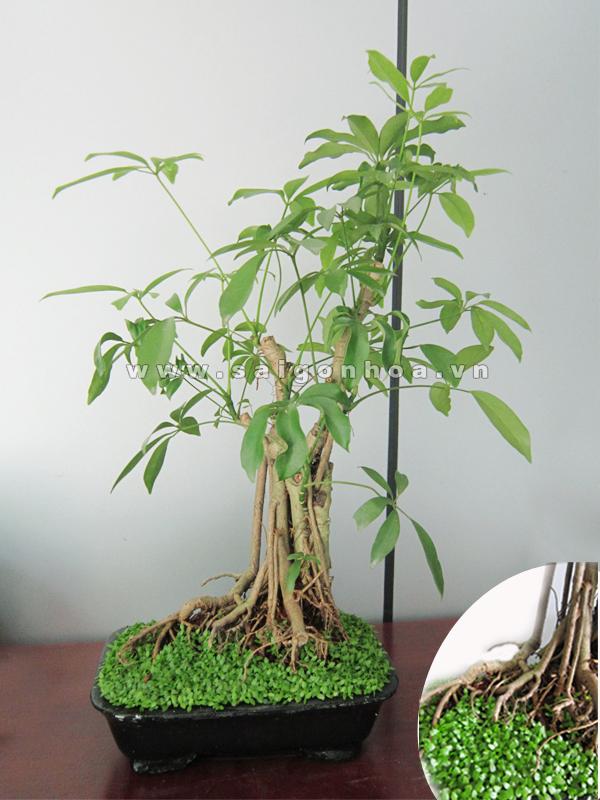 cay ngu gia bi bonsai