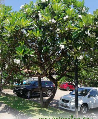 Làm sao để cây sứ đại luôn xanh tốt ?
