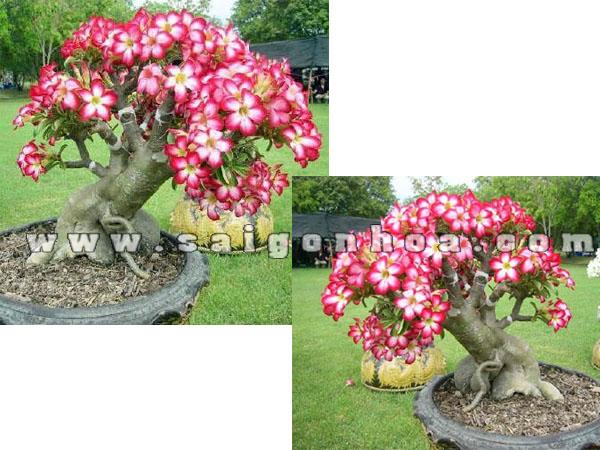 cay su thai hong bonsai