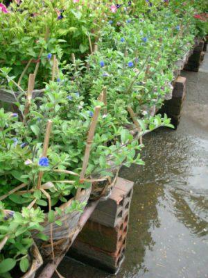cay thanh tu cay hoa mau xanh