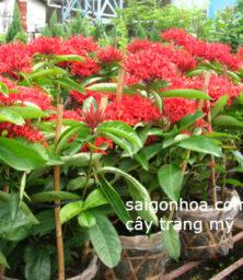 Cay Trang My1