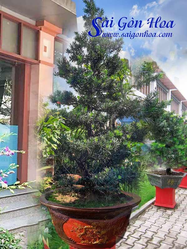 Cay Van Nien Tung Bonsai San Nha