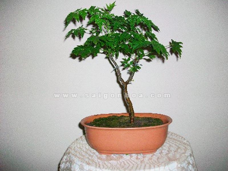 cay xoan chiu han bonsai