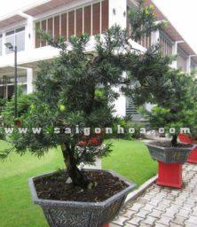 Chạu Cay Van Nien Tung Bonsai