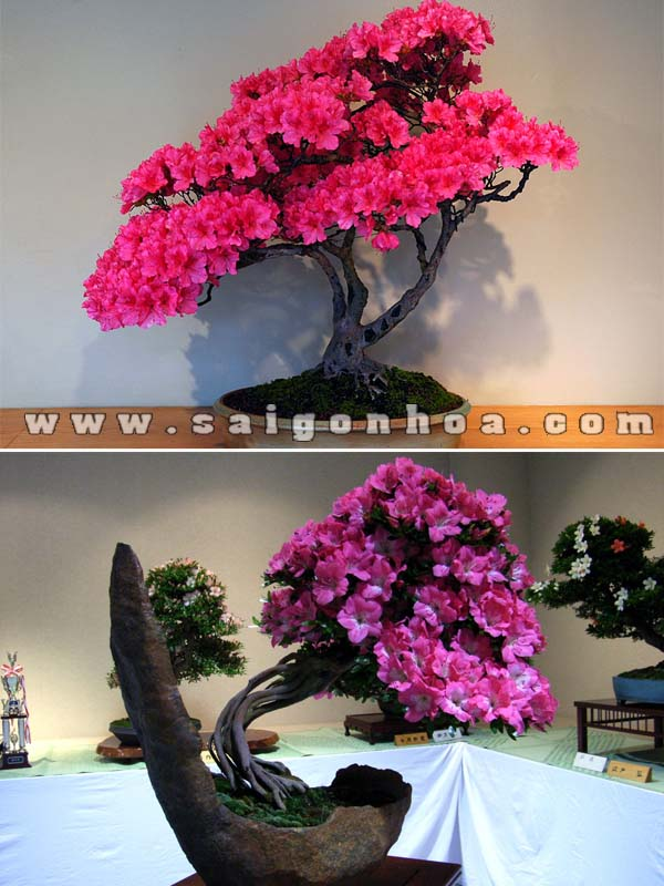 chau cay hoa do quyen bonsai de ban