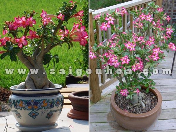 chau cay su thai hong bonsai