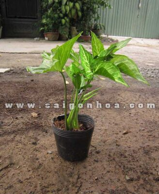 Chau Cay Troc Bac