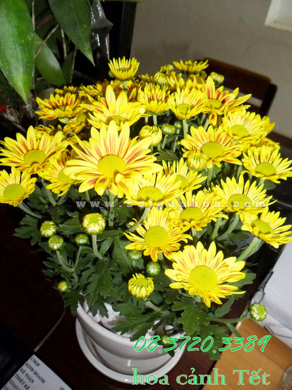chau hoa cuc da lat