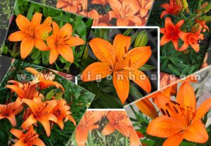 chau hoa lily cam 5