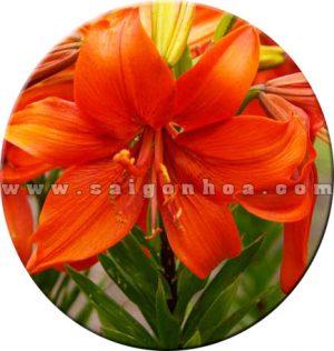 chau hoa lily cam 6