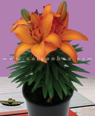 Chau Hoa Lily Cam Dai Dien