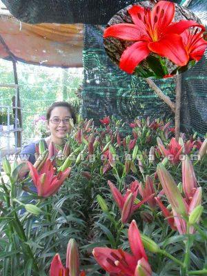chau hoa lily do1