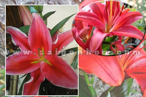 chau hoa lily do4