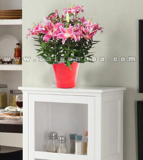 chau hoa lily hong 1