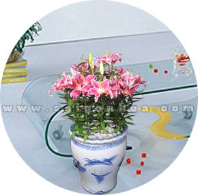 chau hoa lily hong 3