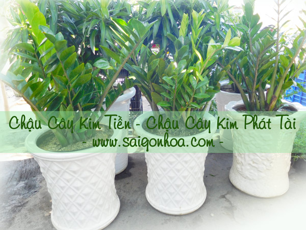 Chau Kim Phat Tai