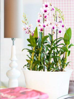 chau lan dendro hoa mau hong