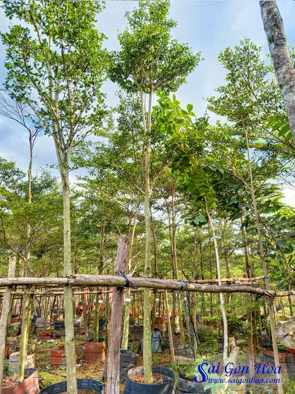 Cung Cap Cay Bang Dai Loan