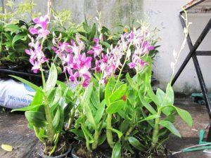 dendro hoa mau hong