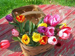 gio hoa tulip dep