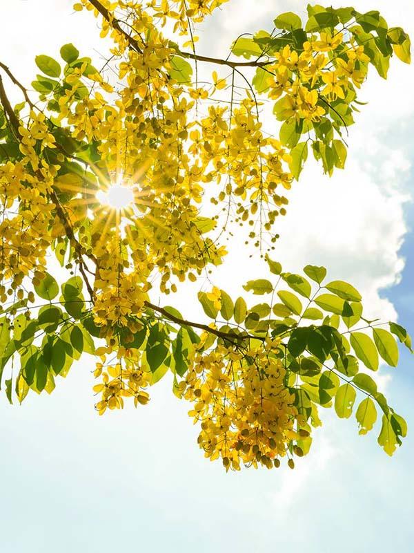 hoa bo cap vang - Cây Bọ Cạp Vàng cho hoa đẹp khu đô thị