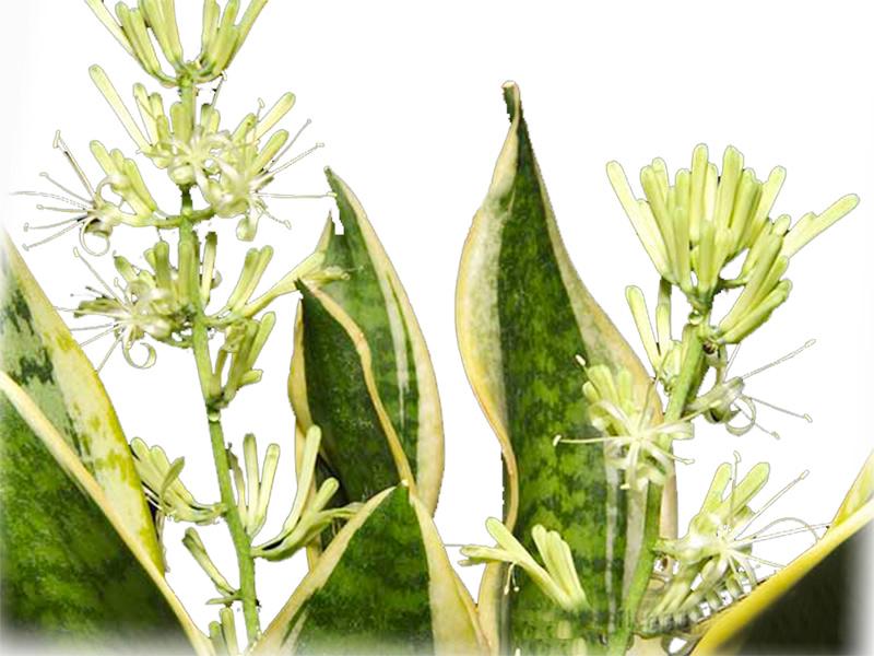 hoa cây lưỡi hổ