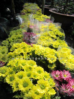hoa cuc da lat