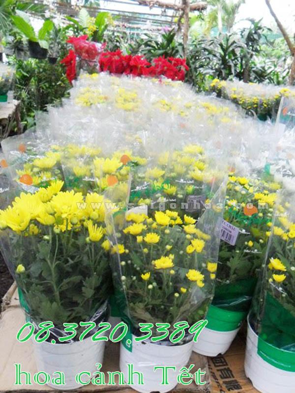 hoa cuc da lat trang tri tet
