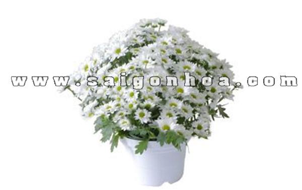hoa cuc pico trang