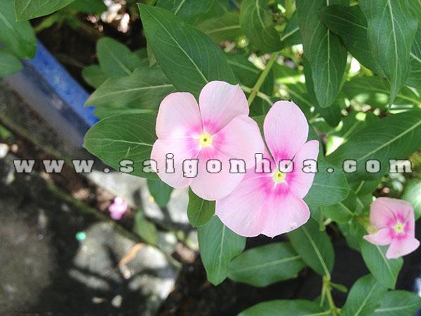 Hoa Dua Can Hong Nhat 1