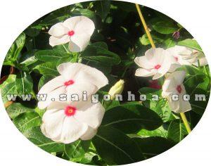 Hoa Dua Can Trang 2
