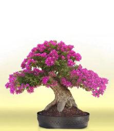 Hoa Giay Bonsai