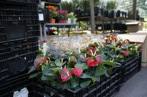 hoa hong mon 2